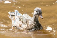 ??? (Shane Jones) Tags: bird duck nikon d500 wildfowl tc14eii 200400vr