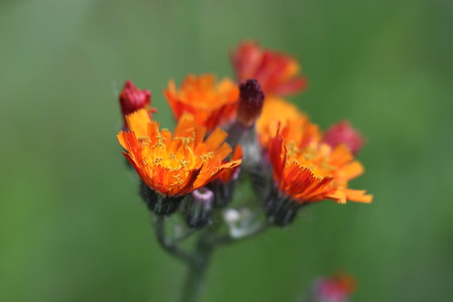 Orange hawkweed (Orangerotes Habichtskraut)