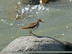Common Sandpiper (Actitis hypoleucos) (gilgit2) Tags: pakistan birds fauna canon geotagged wings wildlife feathers tags location species tamron category avifauna gilgit actitishypoleucos commonsandpiperactitishypoleucos gilgitbaltistan imranshah canoneos7dmarkii tamronsp150600mmf563divcusd gilgit2 chinarbagh