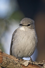 Ashy Flycatcher- Skukuza, South Africa (wsweet321) Tags: africa bird nature southafrica mammal birding safari research endangered krugernationalpark kruger satara bigfive skukuza knp lowersabie