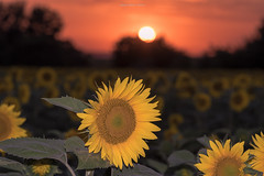 Sunset & Sunflower (oskaybatur) Tags: sunset red summer sun june yellow turkey dof bokeh trkiye sunflower mf ricoh manualfocus gnbatm 2016 turkei erkezky justpentax pentaxart pentaxk3 oskaybatur samyang100macro gnbakan