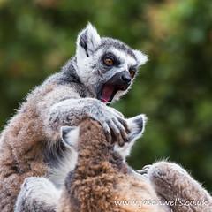 Ring-tailed lemurs fighting (wellsie82) Tags: 100400 100400l 100400mm 6d barrowinfurness cumbria jasonwells lemurcatta southlakes southlakessafarizoo southlakeszoo animal animalportrait canon closeup eos eyes head jasonwellscouk lemur mammal monkey nature outdoors portrait ringtailedlemur safaripark truelemurs wellsie82 wwwjasonwellscouk zoo zoology