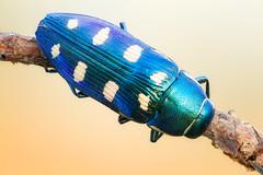 8-spotted Jewel II (johnhallmen) Tags: macro insect coleoptera buprestidae kenkopro3002x canon5dmkii sigma18035 zerenestacker