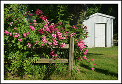 A Bouquet of Roses For Your Fence Friday (sjb4photos) Tags: michigan ypsilanti washtenawcounty fence fencefriday hff