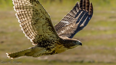 Juvenile Red Tailed Hawk (pasquadaniel) Tags: birdsofprey raptors animals wings feathers talons flight nature wildlife baby young birds