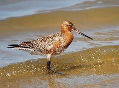 Fuselo / Bar-tailed Godwit (anacm.silva) Tags: wild bird portugal nature birds wildlife natureza aves ave aveiro bartailedgodwit limosalapponica fuselo naturesharmony bestevercompetitiongroup bestevergoldenartists besteverdigitalphotography