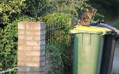 Hello There (Petleg9) Tags: old cat waiting tabby fella dustbin