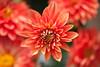 Red balls of fire (Pensive glance) Tags: dahlia plant flower nature fleur plante wonderfulworldofflowers flowerthequietbeauty
