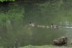 gossling crossing (yumievriwan) Tags: nature creek geese pennsylvania monocacy bethlehempa gosslings