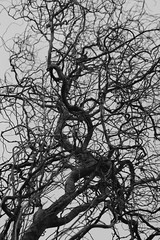 Curly Willow (shutterbusterbob) Tags: bw tree canon branch sigma canoneos rebelxti