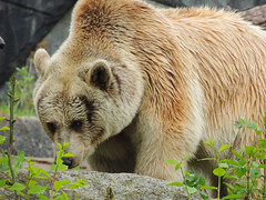Brown Bear (MarkusR.) Tags: bear animal germany zoo stuttgart predator botanicalgarden tier br braunbr brownbear wilhelma ursusarctos badenwrttemberg badenwuerttemberg zoologicalgarden 2013 raubtier markusrieder mrieder 20130502np5017