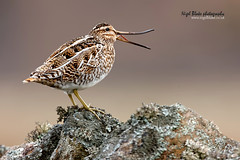 Common Snipe, Gallinago gallinago (Nigel Blake, 2 million views Thankyou!) Tags: bird nature birds wall canon photography bend wildlife upper perched prey items curve blake common nigel ornithology drystone mandible manipulate snipe gallinago 600mm distal f4is rhynchokinesis eos1dsmkiii