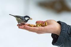 Great tit on the hand (Tambako the Jaguar) Tags: bird person switzerland nikon tit hand feeding eating beak nuts greattit arosa d4