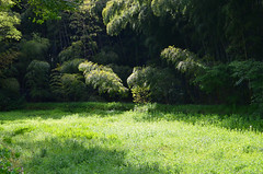 Bamboo and sunlight (Hyogoman) Tags: travel sun sunlight green nature japan spring nikon kyoto asia bamboo   kansai        d7000