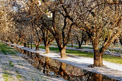 Orchard_4556-1 (jbillings13) Tags: california landscapes farming almond orchard orchards kerncounty almondorchard