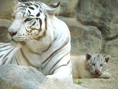 IMG_2319 (killer.kyah) Tags: white animal japan zoo cub tiger saitama tobu