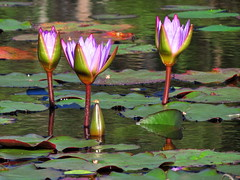 """New Life"" (TonyinAus) Tags: plants colour water lilly alive farmpond"