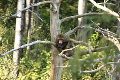 Macaque japonais (Jessica Boulianne) Tags: zoo macaque japanesemacaque macacafuscata macaquejaponais macaquesjaponais zoosauvagedestflicien
