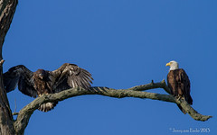Fledging Day (Jerry_a) Tags: birds eagle baldeagle maryland raptor 400mmf56lusm canon7d