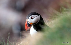 Peeping puffin (mootzie) Tags: cliff green bird grass evening beak puffin colourful height rspb