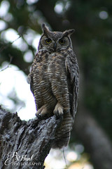 Great Horned Owl (CapturedByRenee) Tags: california nature birds wildlife best raptor owl sacramento greathornedowl americanriver