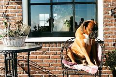 @volendam (doubassov) Tags: dog film volendam