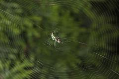Spider eating series 20 (Richard Ricciardi) Tags: spider eating web spinne araa  araigne ragno timeseries     gagamba    nhn  spidertimeseries