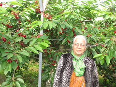 Cherry Picking-13.03 (davidmagier) Tags: portrait usa fruit newjersey cherries princeton mataji