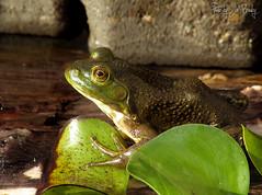 Bull Frog (JBtheExplorer) Tags: green water wisconsin garden pond log backyard amphibian bull frog mount pleasant hyacinth herp racine