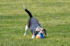 Biting off more than she can chew. (karen&2mutts) Tags: beagle bailey dogpark blaircountydogpark membershipblitz dogwithbigball