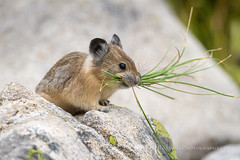 Pika Carrying Grass (Free Roaming Photography) Tags: summer food usa mountain mountains west cute grass animal mammal nationalpark rocks wildlife small boulder boulders western northamerica hungry wyoming teton tetons grandteton carry carrying pika mouthful grandtetonnationalpark boulderfield
