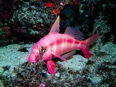 Blue Lined Goat fish (billunder) Tags: scubadiving shellharbour basspoint thegutter sealifedc1400