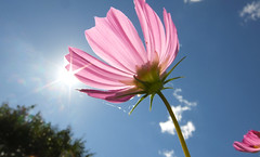 キラキラ@コンデジ散歩 (e_haya) Tags: flower cosmos コスモス fujifilmxf1