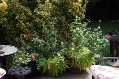 August (faith goble) Tags: summer dog hot art chair backyard kentucky ky faith sunny patio cc pottedplants creativecommons zinnia shrub bowlinggreen portulaca mossroses creepingjenny freetouse goble faithgoble goldeneuonymous