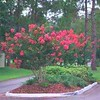 "Semi Dwarf Crape Myrtle • <a style=""font-size:0.8em;"" href=""http://www.flickr.com/photos/101656099@N05/9736792584/"" target=""_blank"">View on Flickr</a>"