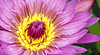 Fire in the Hole (Wes Iversen) Tags: flowers nature blossoms waterlilies chicagobotanicgarden hcs nikkor18300mm clichésaturday