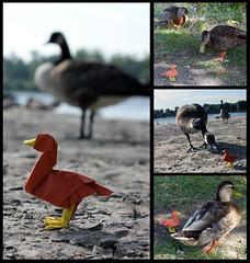 Adventure Duck (FoldedWilderness) Tags: duck origami goose adventure folded wilderness