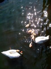 water, glitter and a flipper (Gina notLollobrigida) Tags: water glitter swans chicks fascination flippers whiteness zuiderpark