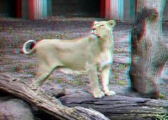 Leeuwin Blijdorp 3D (wim hoppenbrouwers) Tags: 3d rotterdam blijdorp lion anaglyph stereo blijdorpzoo leeuwin diergaardeblijdorp redcyan zooblijdorprotterdam