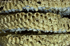 particolare di Favo di Calabroni, Vespa crabro, detail of an Hornets nest (paolo.gislimberti@gmail.com) Tags: macro insects animalarchitecture hymenoptera architetturaanimale insettiimenottericalabronifavocellette