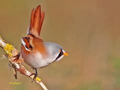 Macho  de Bigotudo (Panurus biarmicus) (eb3alfmiguel) Tags: aves bigotudo pájaros
