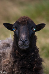 The sheep with the Shining Eyes (Ch.Neis) Tags: france nature animals tiere reflex nikon sheep natur 23 nikkor animaux mouton creuse afs limousin dx schaf digitalcameraclub d5200 55300mm photographedandcopyrightbychristophneis stpierrecherignat