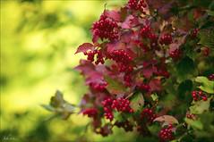 Roter Holunder... (sch.o.n) Tags: autumn rot nature herbst elder wald elderberry sambucus racemosa holunder sambuco vision:plant=0922 vision:flower=0812 vision:outdoor=0585