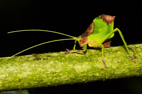 Yet Another Amazing Katydid