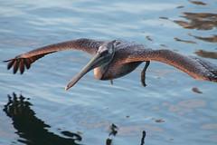Brown Pelican (immature), San Diego Bay, CA. (painguy007) Tags: california bird sandiego pelican brownpelican
