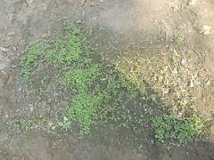 ficus tree seedlings (safwansh) Tags: pakistan birds education aves foundation ficus habitat biodiversity safwan kasur treesplantation