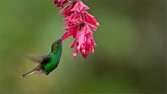Coppery-headed Emerald in Flight (Raymond J Barlow) Tags: travel costarica hummingbird wildlife adventure workshop allnaturallight raymondbarlowphototours