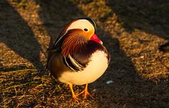Mandarin Duck (Laura Erickson) Tags: california alhambra mandarinduck aixgalericulata almansorpark