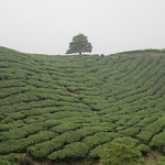 a lonely tree at the tea fields thumbnail