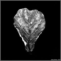Leaf. Bronica-S2, ORWO NP20, exp:1992. (Andrey Maltsev) Tags: old flowers bw 120 6x6 film canon leaf tulips scan 120film bronica tulip scanned 1992 cymbidium expiredfilm orwo bwfilm middleformat 8800 blackandwhitefilm bronicas2 iso80 orwonp20 np20 canon8800f